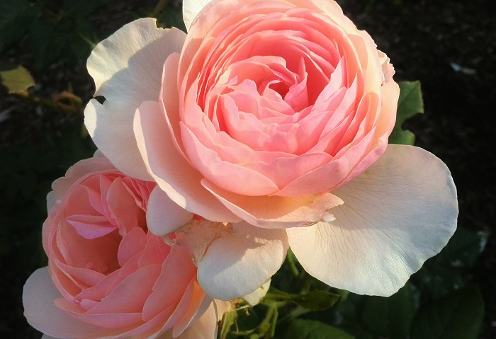 Candy Pink Roses London ON