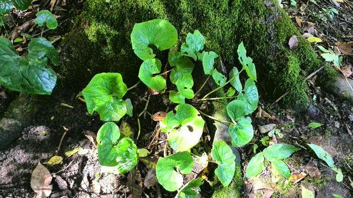 Wild ginger plant near Stratford Ontario