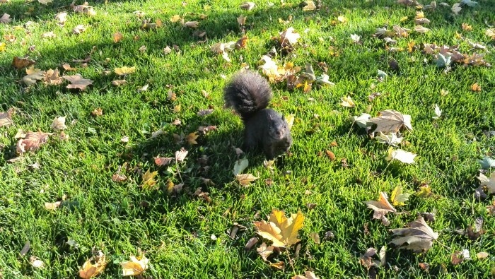 Black squirrel among fall leaves