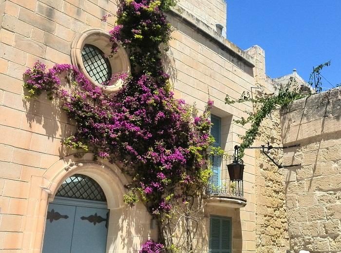 Climbing-bush-Mdina (Malta)